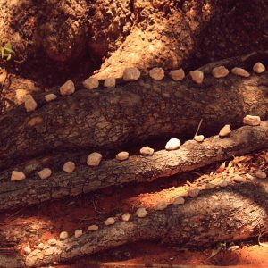 Root Crossing, white rocks on a tree trunk, Upington, Northern Cape, South Africa